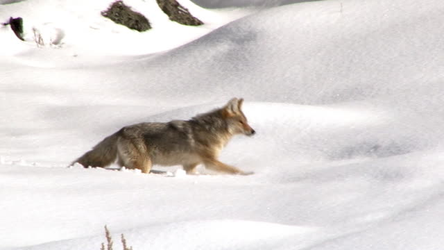 Coyote struggling through deep snow, Yellowstone National Park, Wyoming