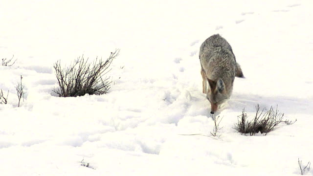 Coyote trotting forward, finds something to eat, Yellowstone National Park, winter