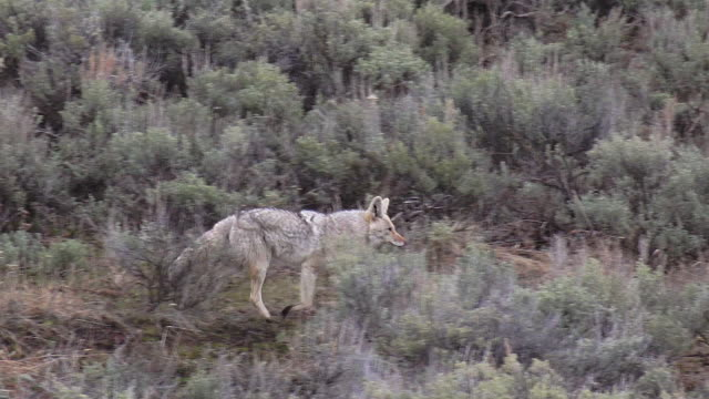 coyote trotting right through sagebrush - north america stock videos & royalty-free footage