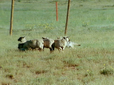 coyote walking behind small group of domestic sheep in field sheep scattering - mutterschaf stock-videos und b-roll-filmmaterial