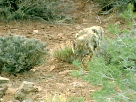 Coyote walking down rocky dirt path past shrubs