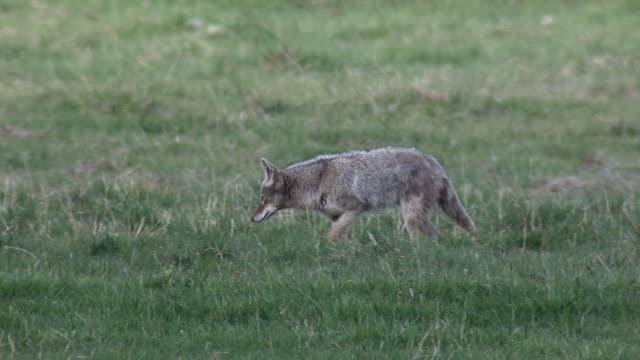 Coyote Walking In Field