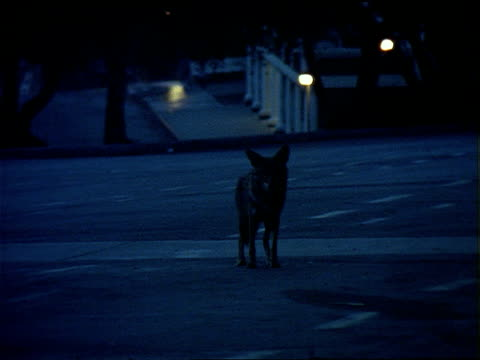a coyote walks along a city street at twilight. - scavenging stock videos & royalty-free footage