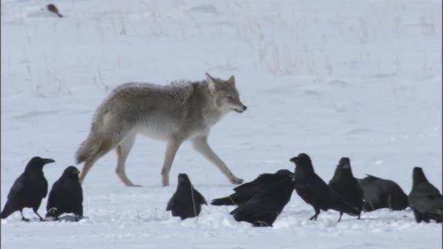 vídeos y material grabado en eventos de stock de coyote (canis latrans) walks past another feeding on elk carcass, yellowstone, wyoming, usa - hurgar en la basura