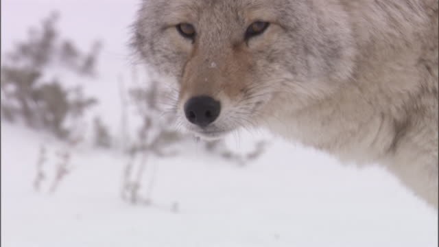 Coyote (Canis latrans) walks through snow, Yellowstone, USA