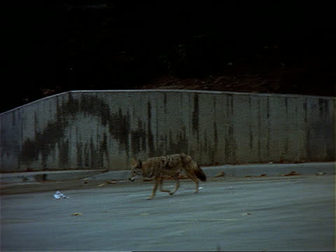 a coyote wanders around a parking lot. - zoology stock videos & royalty-free footage