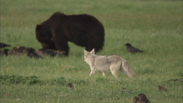 Coyote (Canis latrans) watches as grizzly bear (Ursus arctos) feeds on elk carcass, Yellowstone, USA