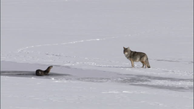 Coyote (Canis lutrans) watches river otters on frozen lake, Yellowstone, USA