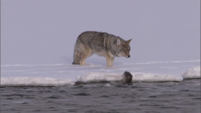 Coyote (Canis latrans) watches river otters (Lontra canadensis), Yellowstone, USA