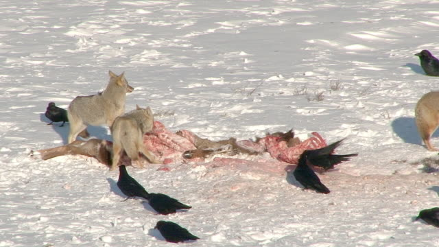 Coyotes and Ravens and a Magpie on an elk carcass, Yellowstone National Park, Wyoming