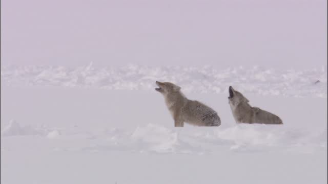 coyotes (canis latrans) howl in snow, yellowstone, usa - two animals stock-videos und b-roll-filmmaterial