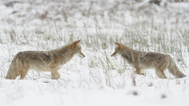 coyotes on prowl together snowy field yosemite ms - yosemite national park stock videos & royalty-free footage