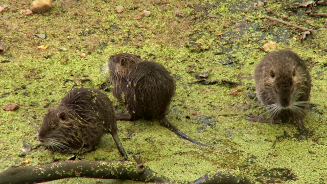 coypus of chenonceau france relaxing - beaver stock videos & royalty-free footage