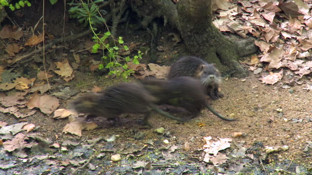 coypus running in the forest of chenonceau france - rat stock videos & royalty-free footage
