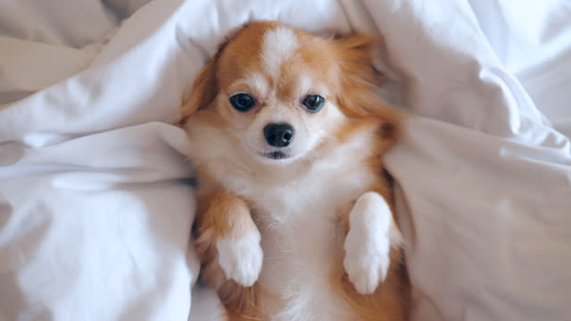 cozy chihuahua on the bed - two animals stock videos & royalty-free footage