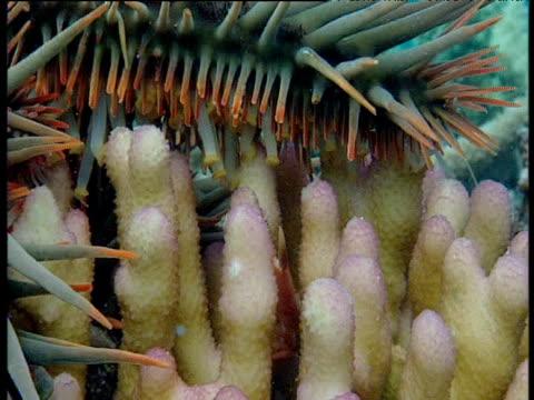 crab attacks tube feet of crown of thorns starfish. - 共生関係点の映像素材/bロール