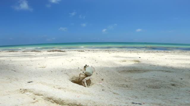 crab behavior on sandy beach - crab stock videos & royalty-free footage