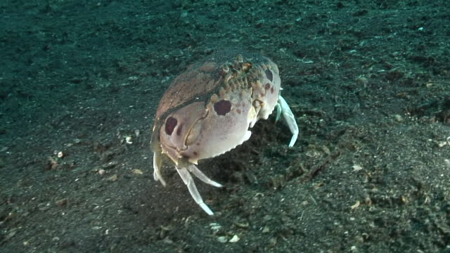 crab burying in sand - crab stock videos and b-roll footage
