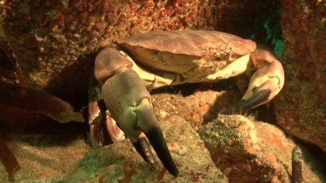 stockvideo's en b-roll-footage met crab. channel islands, british waters - kanaaleilanden engeland