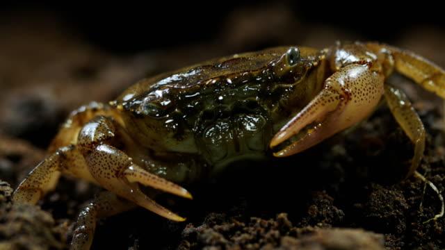 vidéos et rushes de plan rapproché de crabe - exosquelette d'animal