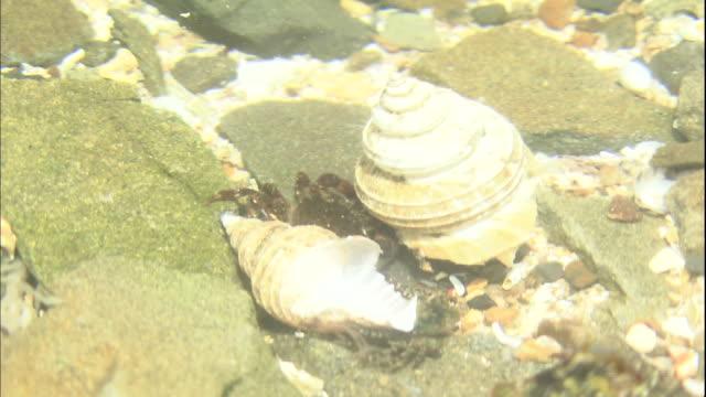 vídeos de stock, filmes e b-roll de a crab crawls on the rocky seabed at hiraiso coast in ibaraki, japan. - grupo pequeno de animais