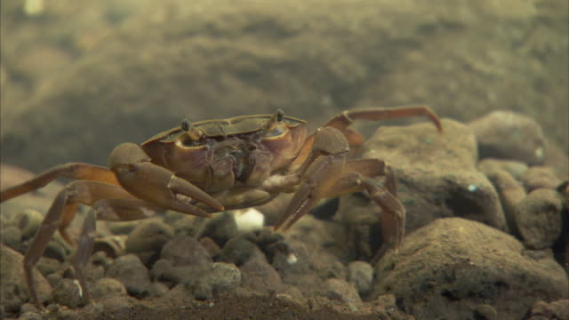 A crab crawls sideways over rocks and pebbles. Available in HD