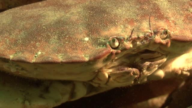 stockvideo's en b-roll-footage met crab cu to eyes. channel islands, british waters - kanaaleilanden engeland