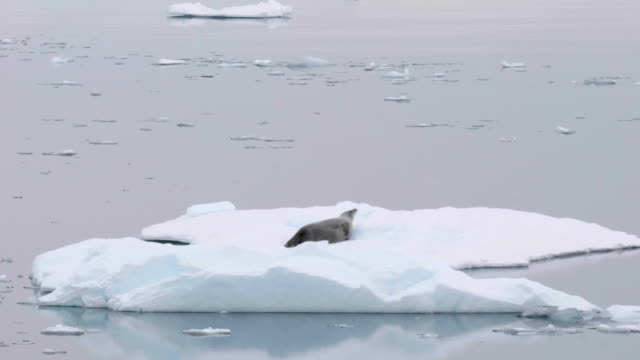 vídeos de stock, filmes e b-roll de crab eater seal over a piece of ice in the antarctic ocean - um animal
