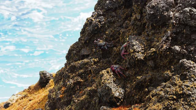 crab (grapsus adscensionis) eating among the rocks on the seashore in the coast of the canary islands. - aquatic organism stock videos & royalty-free footage