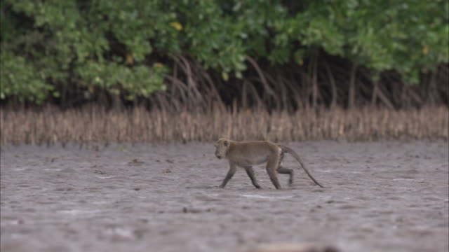 crab eating macaque walks through mud. - crab stock videos & royalty-free footage