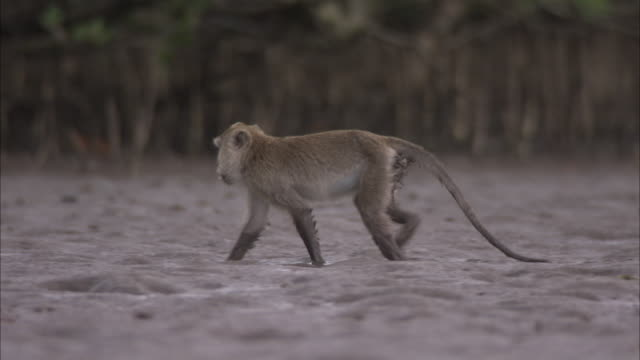 crab eating macaque walks through mud. - insel komodo stock-videos und b-roll-filmmaterial