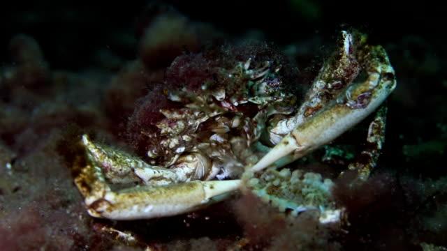 食べる蟹海の星