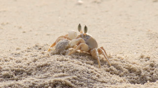 crab feeding on the beach