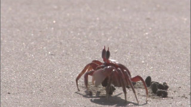 a crab forages on the beach leaving balls of sand behind. available in hd. - crab stock videos & royalty-free footage