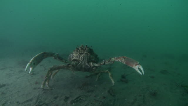Crab in defensive mode