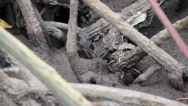 Crab im Mangrovenwald.