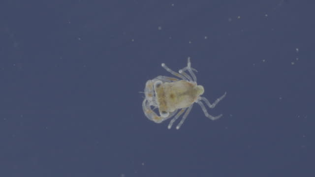 crab larvae plankton - crab stock videos and b-roll footage