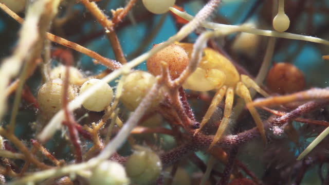 Crab maneuvers through seaweed, close up