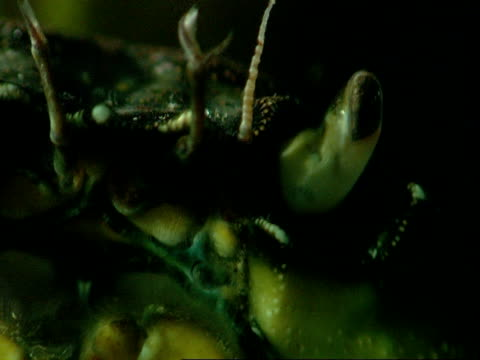 stockvideo's en b-roll-footage met a crab moves its antennae and mouth underwater. - voelspriet