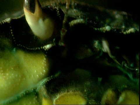 a crab moves its antennae underwater. - animal antenna stock videos & royalty-free footage