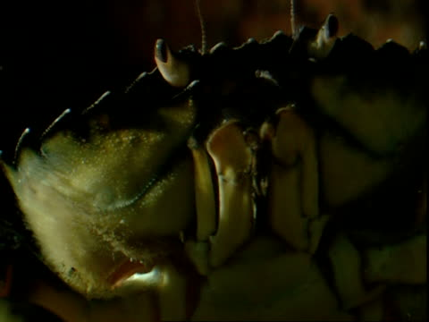 stockvideo's en b-roll-footage met a crab moves its maxillipeds and antennae as it climbs up. - voelspriet