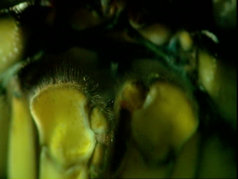 stockvideo's en b-roll-footage met a crab moves its mouth and antennae underwater. - voelspriet