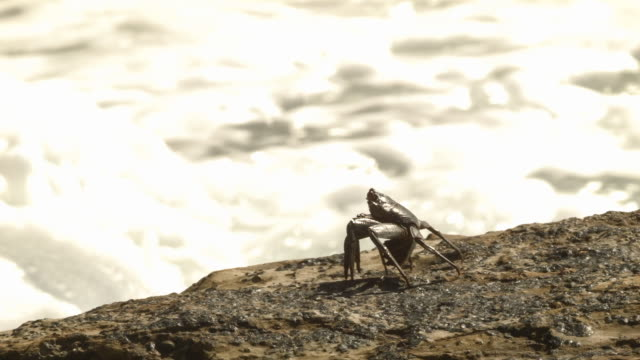 crab on a rock with surf behind - surf rock stock videos & royalty-free footage