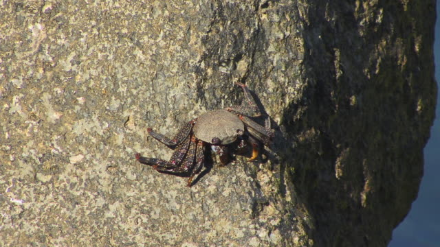 ms crab on rock/ puerto de mogan, grand canary, canary islands - grand canary stock videos & royalty-free footage