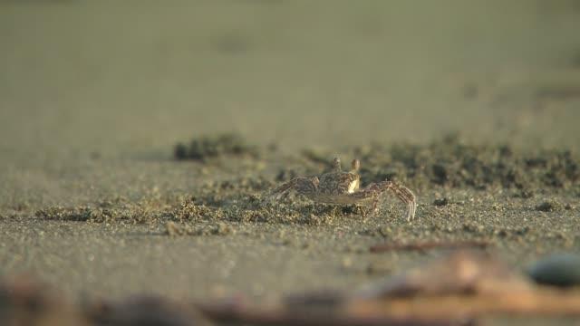 crab on sand - wirbelloses tier stock-videos und b-roll-filmmaterial