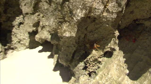 stockvideo's en b-roll-footage met crab on the rock in minamijima,ogasawara islands - infaden