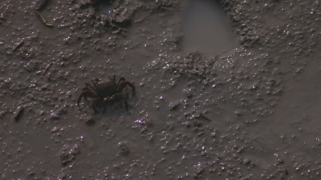 crab on tideland, saga, japan - mud flat stock videos and b-roll footage