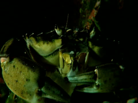 a crab puts food in its mouth using its claws. - crab stock videos & royalty-free footage