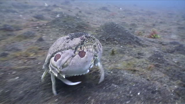 cu ts crab running over sand / lembeh strait, sulawesi, indonesia  - claw stock videos and b-roll footage
