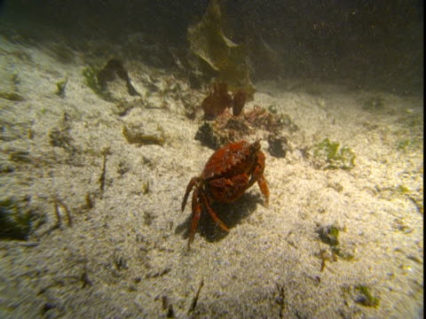 a crab scurries across the seafloor. - wasserpflanze stock-videos und b-roll-filmmaterial